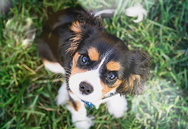 Cute Black, Brown and White Puppy