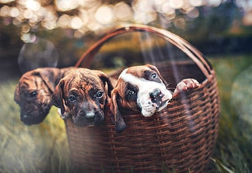 Cute Puppies in Basket