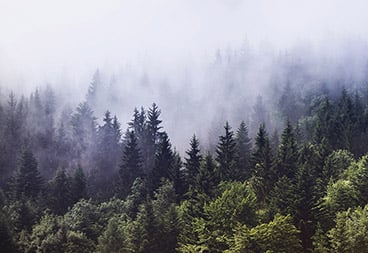 Green Forest Trees in Fog