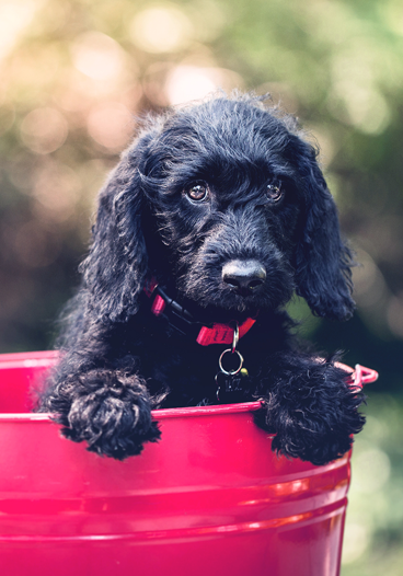 Black Dog in Red Bucket